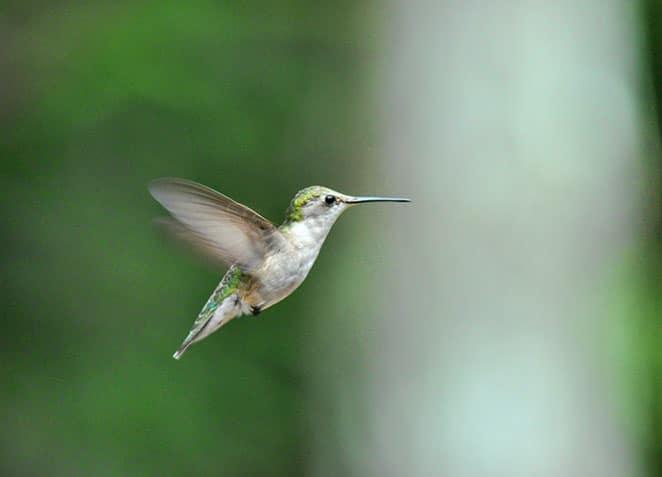 Female Hummingbird - Robert Thayer